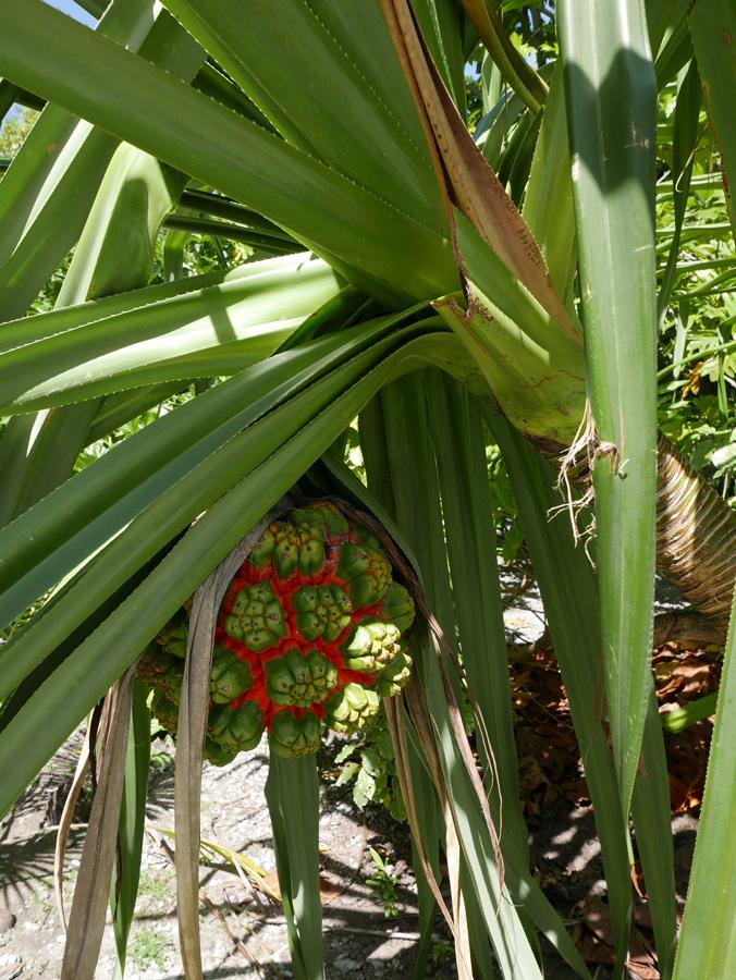 Fruit de pandanus. Tanaeang, Tabiteuea nord. Photo Guigone Camus, 2015.